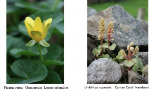 irish-botanical-alphabet-flower1