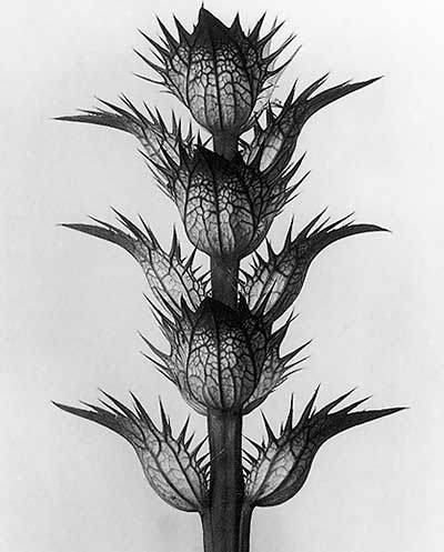 Karl Blossfeldt, Art Forms in Nature