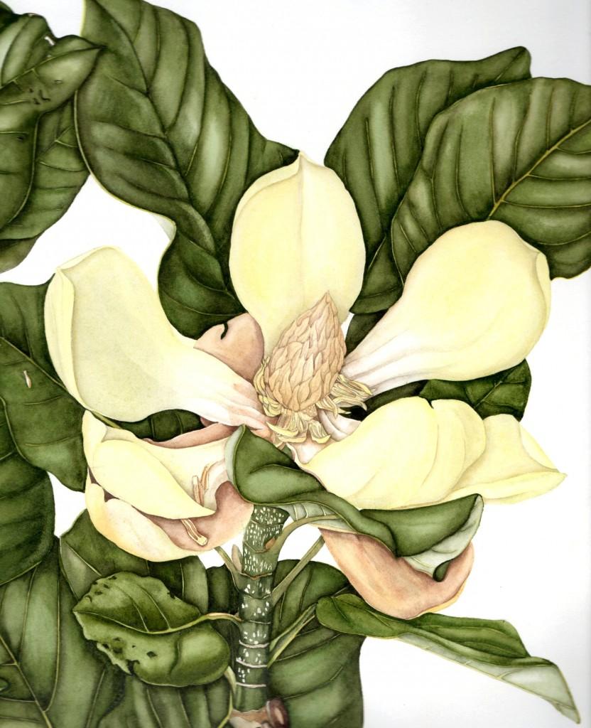 Magnolia delavayi © Lynn Stringer