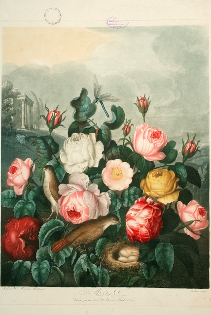 A plate from Thornton's The Temple of Flora, in the collection of National Botanic Gardens Glasnevin Dublin Ireland Copy library artwork