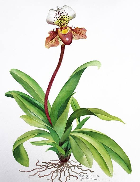 Paphiopedilum orchid by Jane Stark