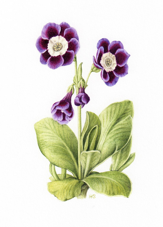 Auricula-CW-Needham by Holly Sommerville