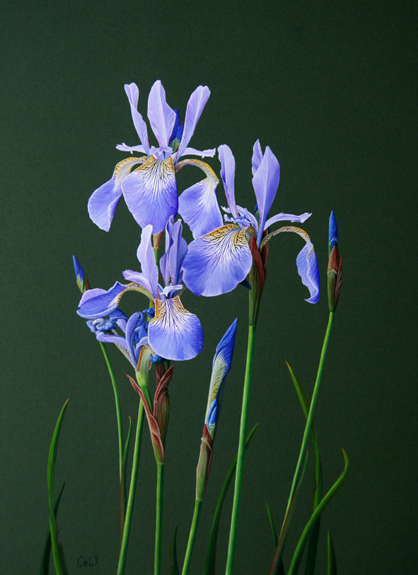 Iris by Claire Kathleen Ward