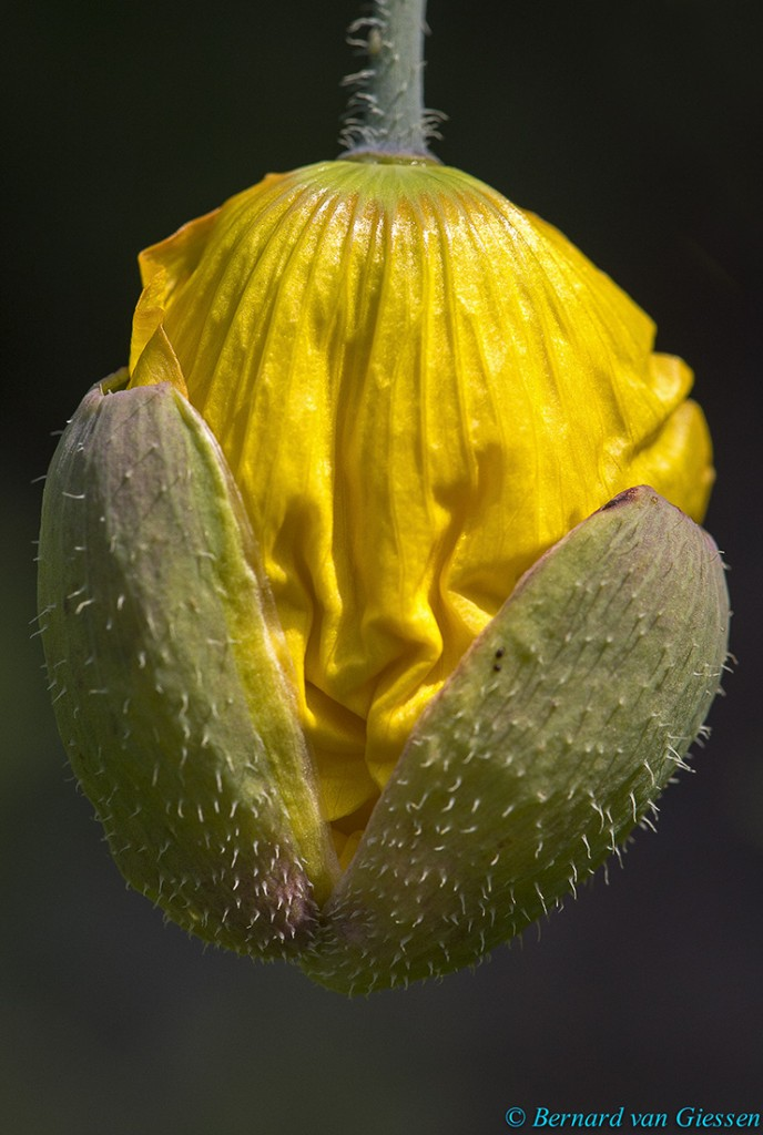 Welsh poppy bud