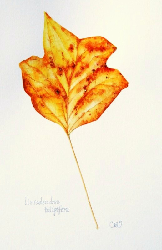 Liriodendron tulipifera, tulip tree leaf painted using granulating pigments- Claire Ward (SBA)