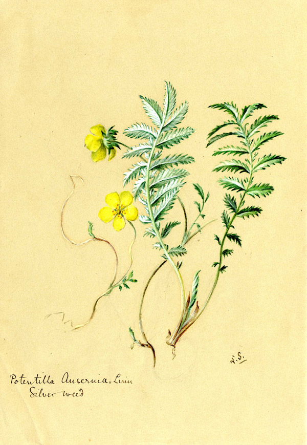 Potentilla anserina Silverweed – one of the native Irish species painted by Lydia Shackleton