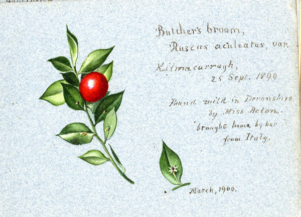 A page from one of Lydia Shackleton's notebooks: butcher's broom Ruscus aculeatus var. Kilmacurragh, painted by Lydia Shackleton