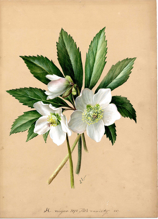 Helleborus niger Mr. Poe's variety, painted by Lydia Shackleton in 1887