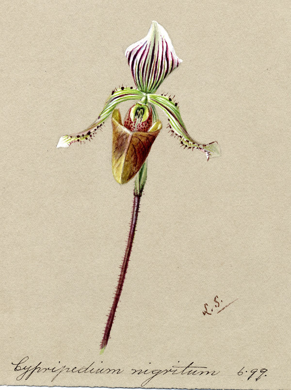 Slipper orchid Cypripedium nigritum by Lydia Shackleton