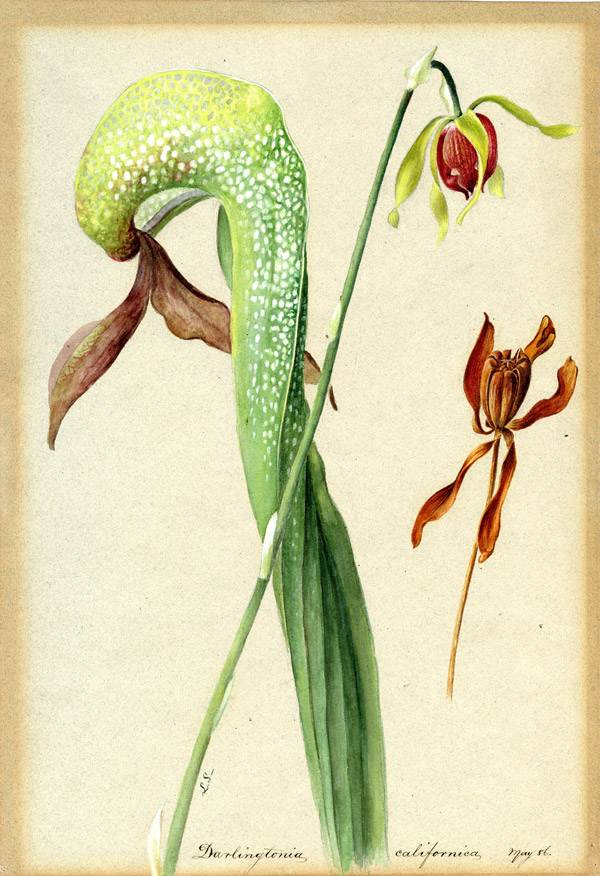 Cobra lily Darlingtonia californica by Lydia Shackleton