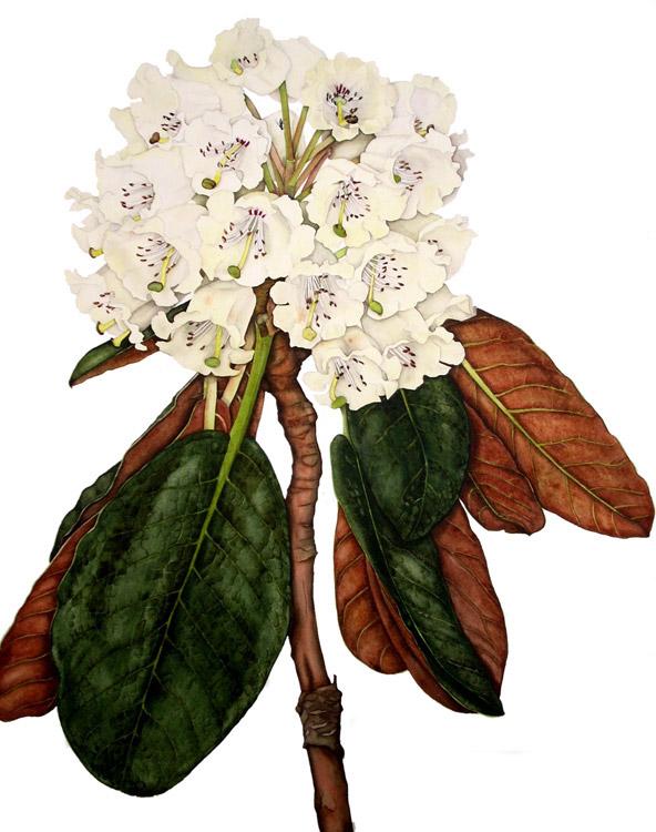 Rhododendron falconeri© Lynn Stringer