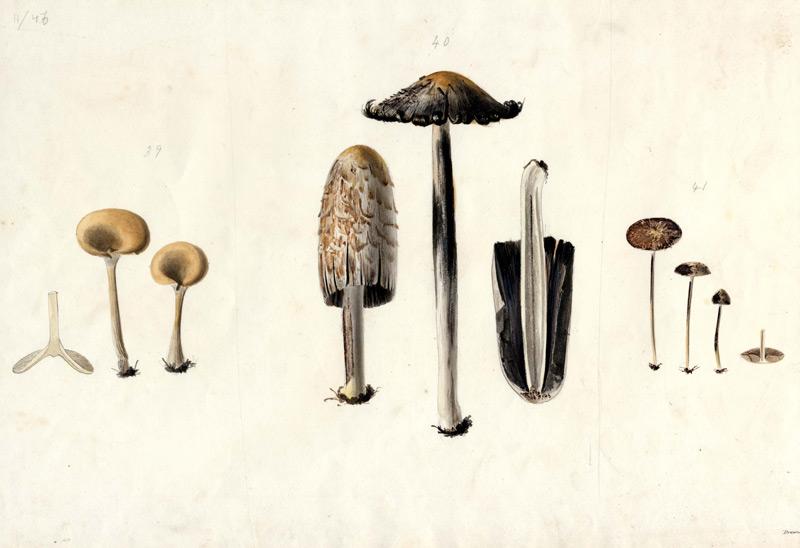 Mushrooms by George Victor du Noyer