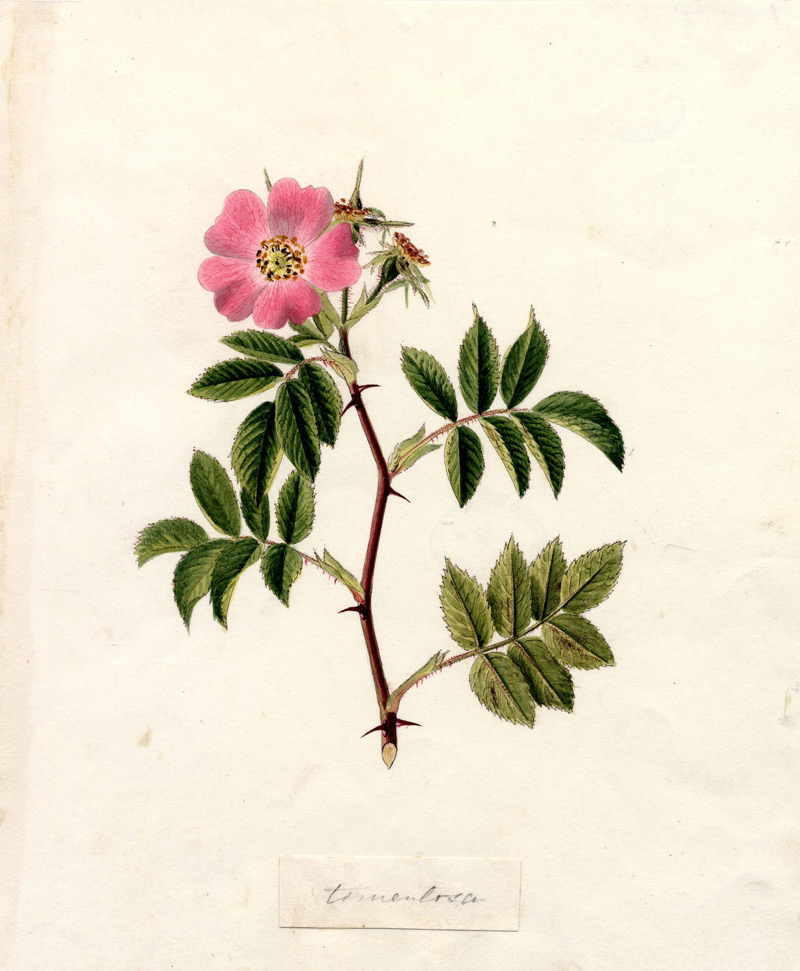 Rosa tomentosa by George
