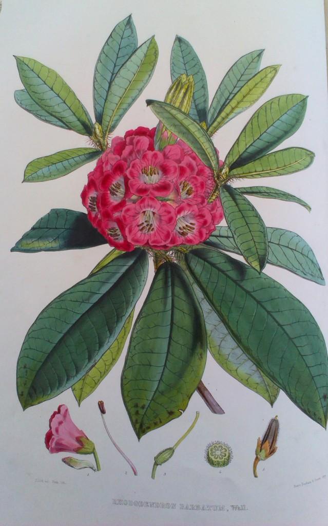 Hooker's Rhododenron barbatum from