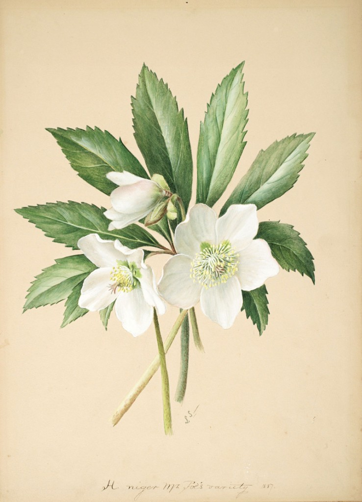 Hellebore niger Mr Poes variety by Lydia Shackleton
