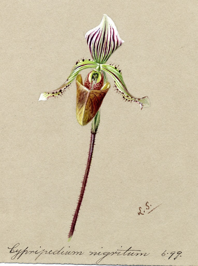 Cypripedium nigritum by Lydia Shackleton