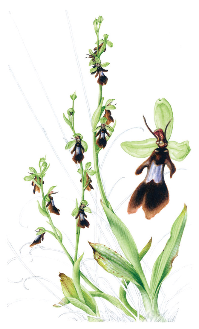 Ophrys insectifera (fly orchid) © Susan Sex