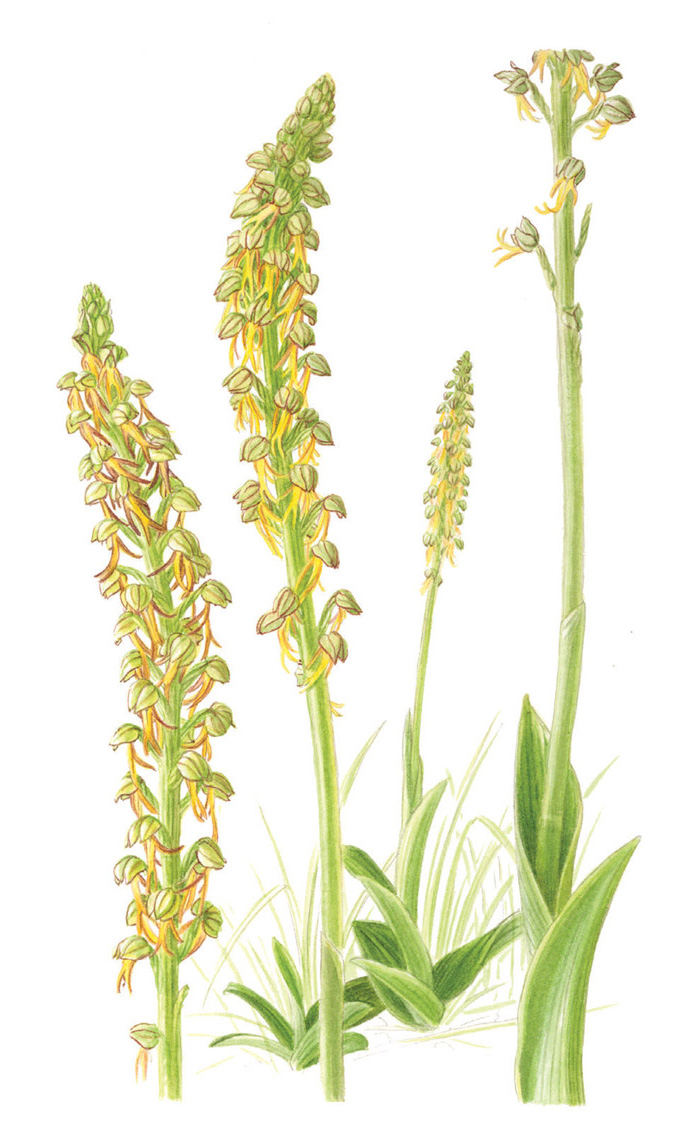 805. ORCHIS ANTHROPOPHORA