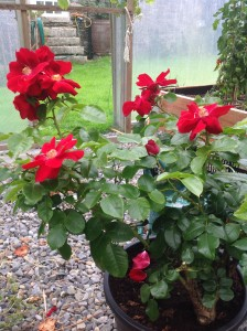 Yeats Rose