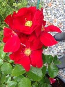 Yeats Rose 2