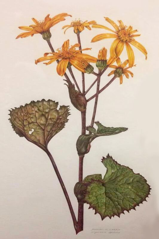 Ligularia dentata by Siobhan Larkin
