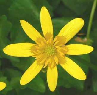 Lesser Celandine, photo (c) Zoe Devlin