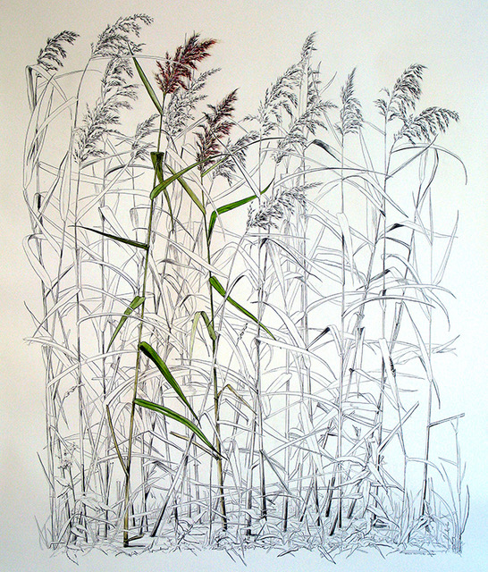 Common Reed. Phragmites australis Black watercolour pencil and watercolour on paper 2007 200cm x 150cm