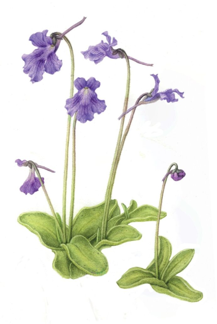 Painting of large-flowered butterwort by Holly Somerville