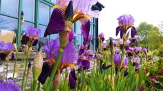 irises outside the Green Barn, Burtown