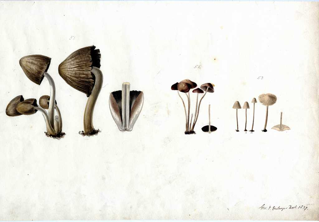 Fungi painted by Georges Du Noyer in 1837.