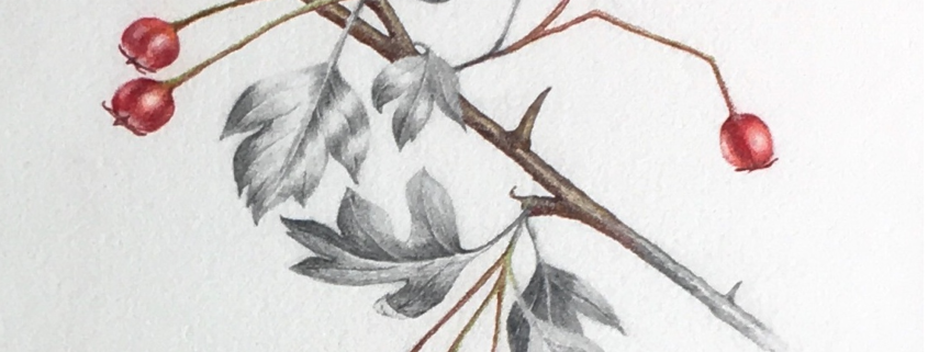 Drawing of haws by Fionnuala Broughan