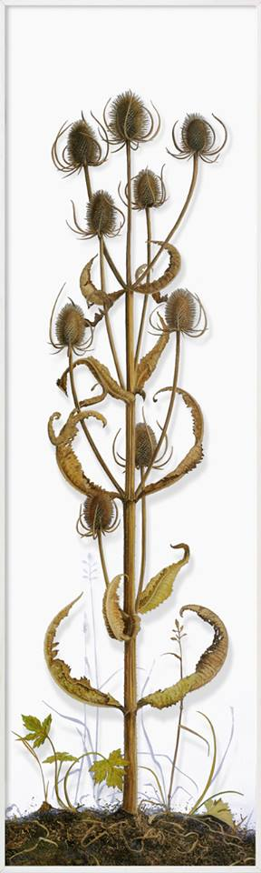 Painting of Teasel for Finches by Yanny Petters