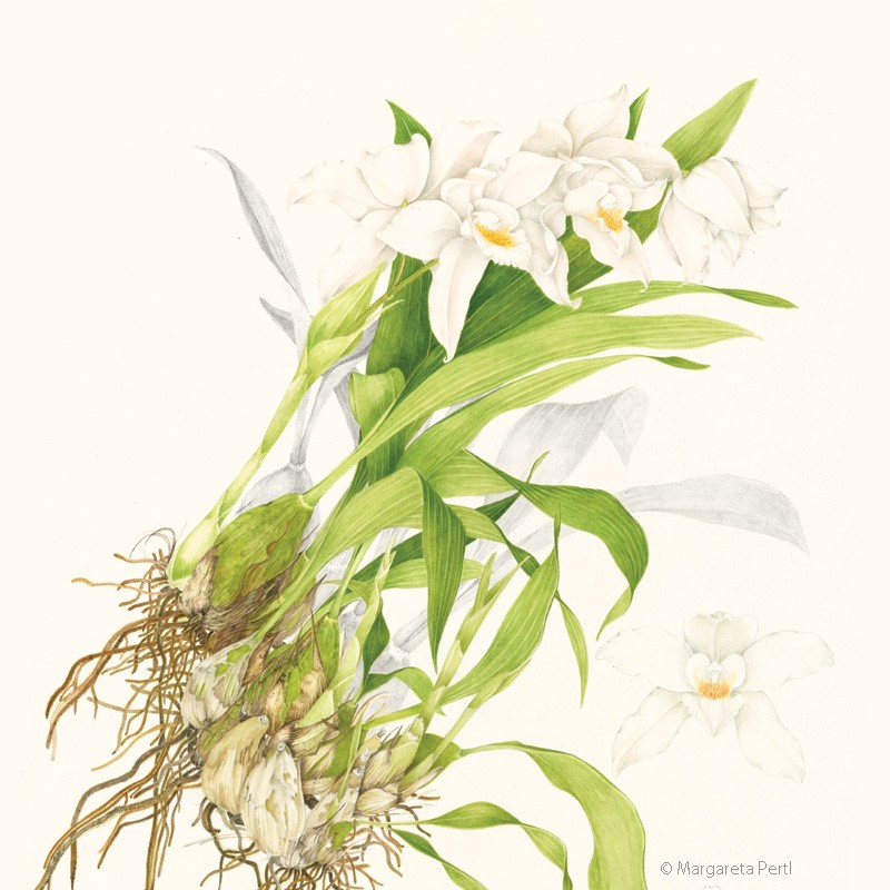 Painting of orchid, Coelogyne mooreana, by Margareta Pertl