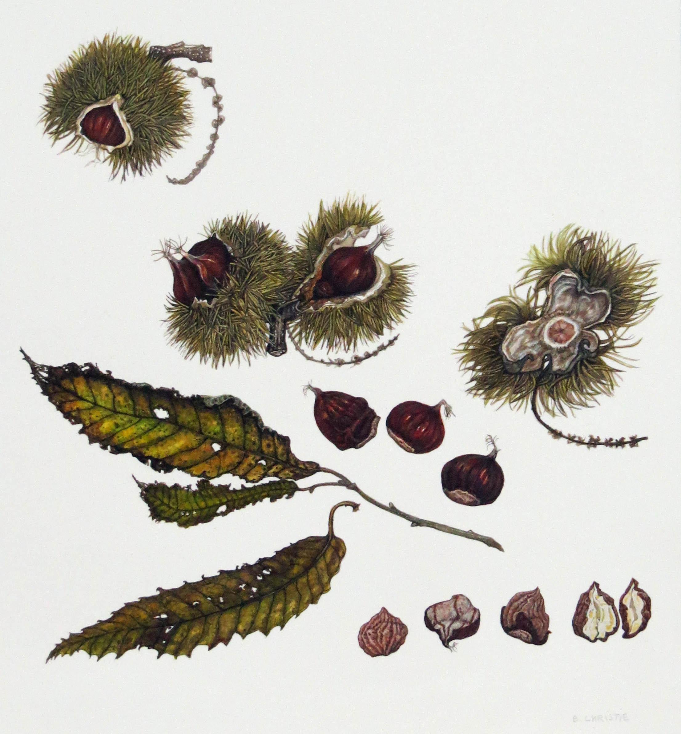 Sweet Chestnut - Castanea Sativa by Betty Christie