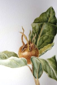 sketch of medlar fruit and leaves