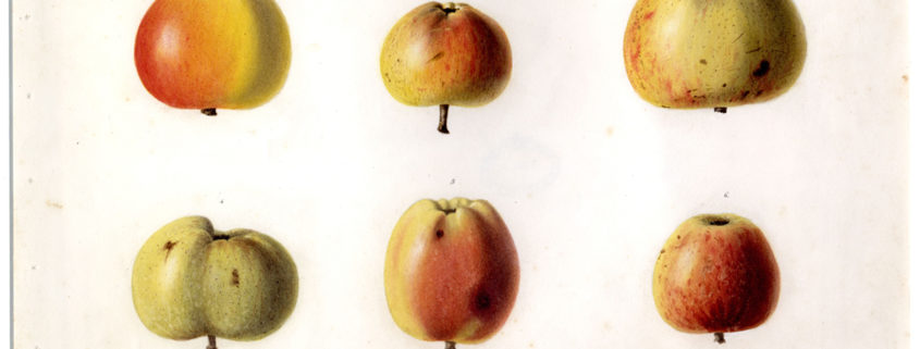 painting of apples by George Du Noyer