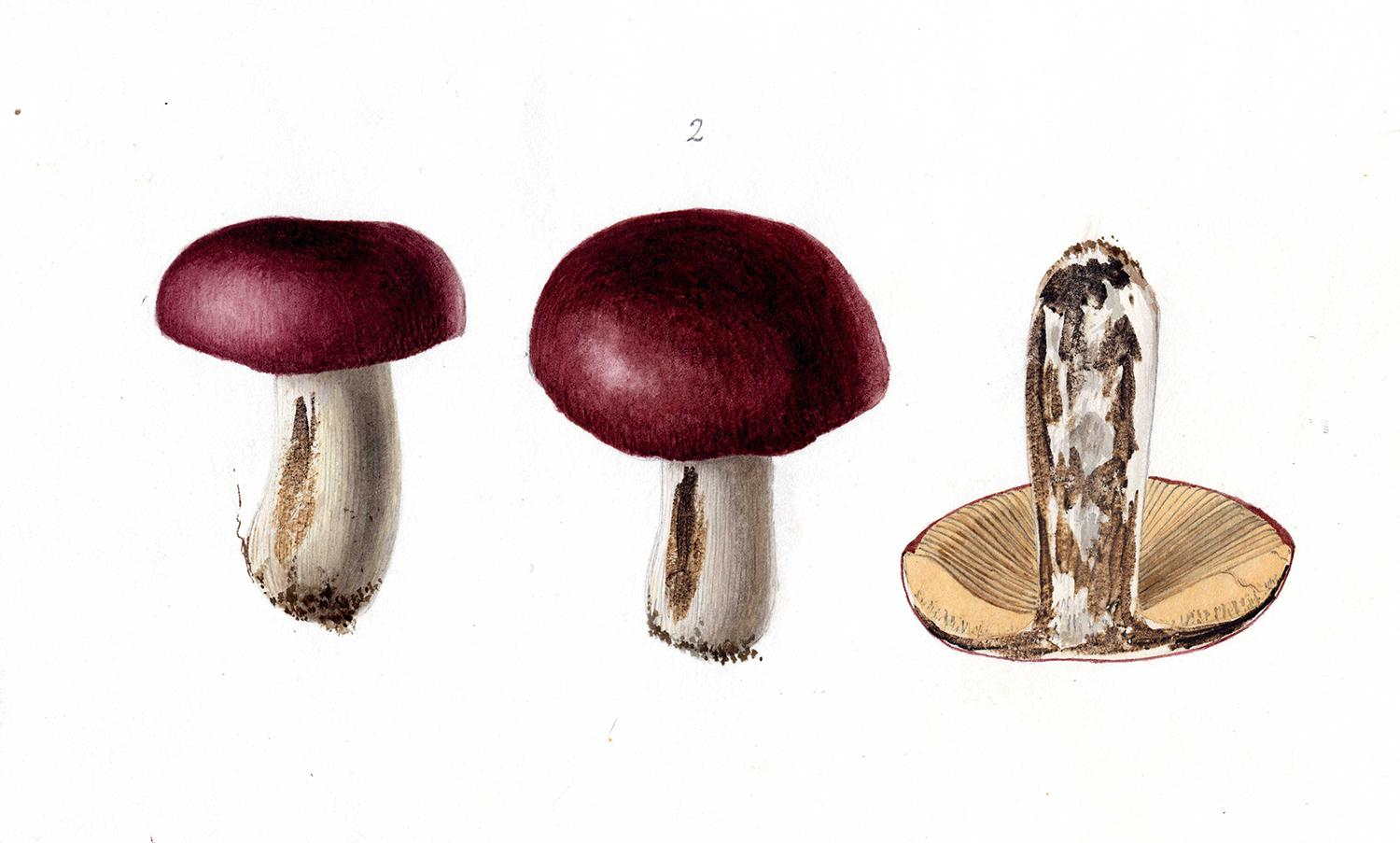 painting of fungi by georges du noyer