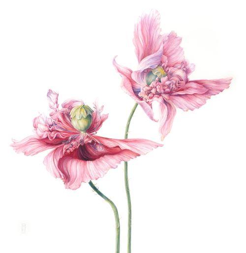 painting of poppy